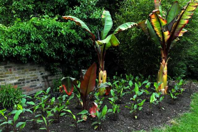 The left hand border newly planted with red ensete and canna.