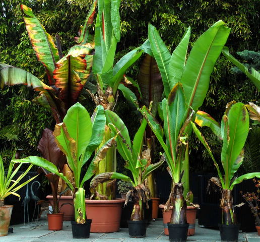 A group of red and green Ensete await planting.