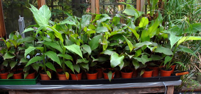 Canna warscewiczii eager to get out into the garden.