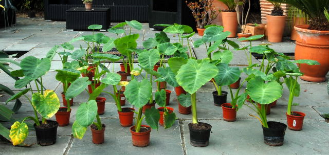 Colocasia esculenta jostling for position.