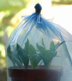Cuttings sealed in a freezer bag.