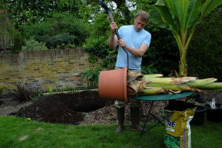 Tapping the rim of a pot of an ensete ventricosum in order to loosen it.