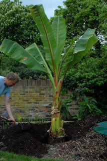Back filling planting hole for ensete ventricosum with enriched soil.