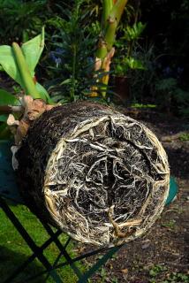 Root detail of ensete ventricosum
