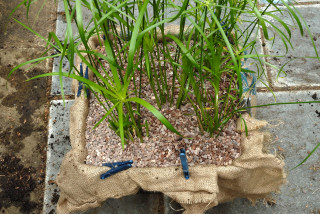 Pond planting basket top dressed with gravel