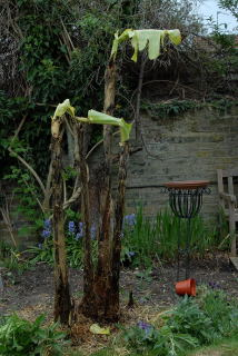 Newly uncovered musa sikkimensis after its winter slumber.