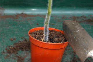 Remove the plant to be transplanted from its pot.