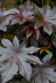 Leaf of ricinus communis 'New Zealand purple'