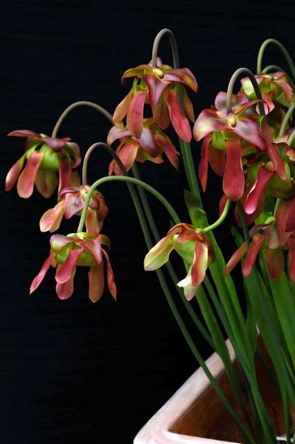 North American pitcher plant in flower