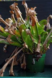 Dormant Sarracenia hybrid.