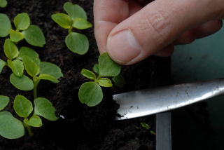 Pricking out a seedling