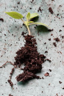 seedling with exposed roots