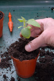 Seedling is placed in a new pot