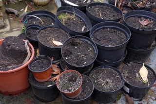 Pots filled with old compost.