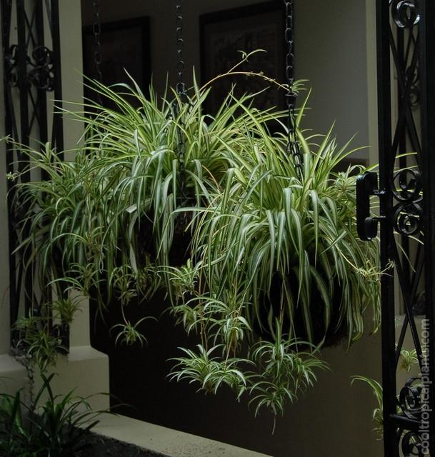 Spider plants in ornate hanging basket