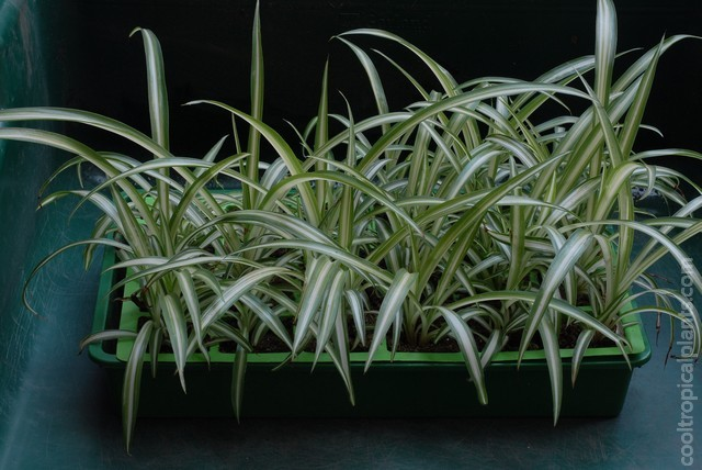 spider plants ready for planting