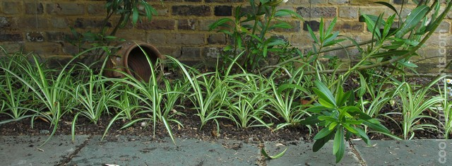 spider plants just planted