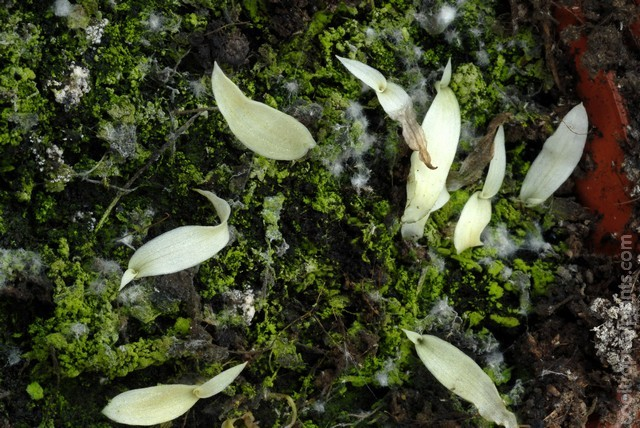 Spider plant seedlings