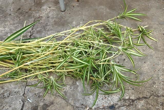 Harvested spider plant plantlets