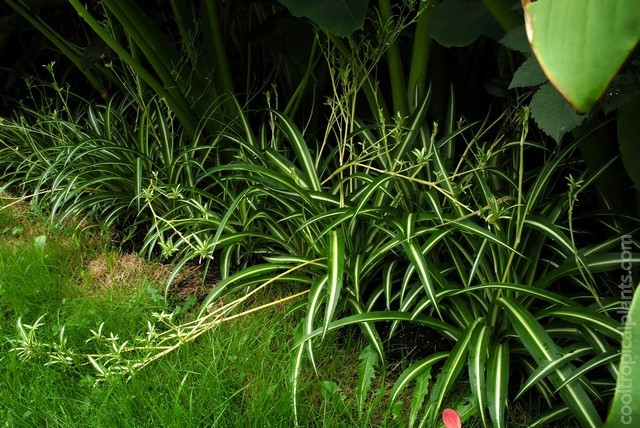 Spider plants covered with plantlets