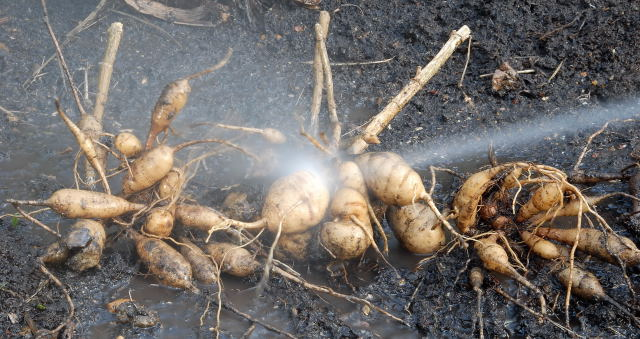 Dahlia tubers being washed prior to winter storage.