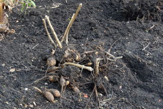 A pile of unwashed dahlia tubers.