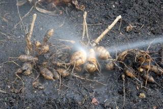 Dahlia bulbs recieving a good wash