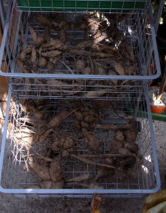 Storing dahlia tubers in a wire mesh laundry device.