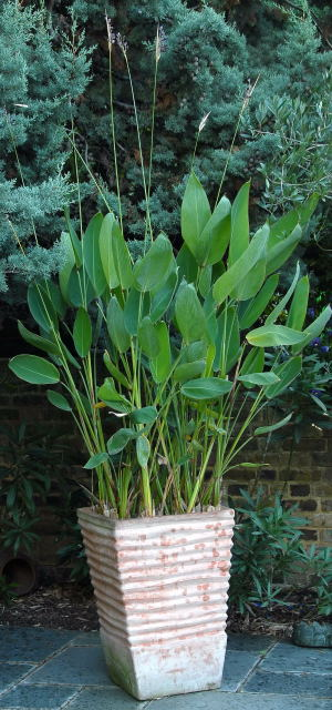 Thalia dealbata growing in a swamp pot