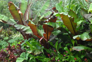 Tropical foliage featuring red ensete's