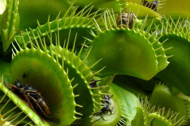 Venus fly traps full of food.