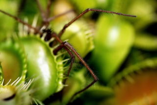 Venus fly trap with spider.