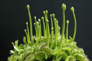 Venus fly trap emerging flower buds.