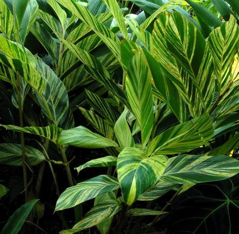 Alpinia zerumbet 'variegata'
