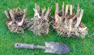 Alpinia zerumbet 'variegata' rhizomes