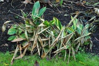 Frosted Alpinia zerumbet 'variegata' plants