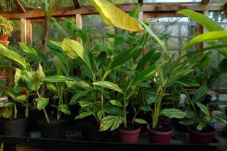 Alpinia zerumbet 'variegata' in the greenhouse