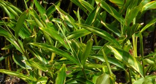 Alpinia zerumbet 'variegata' struggling in full sun