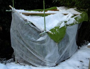Fleece tent constructed to protect Alpinia zerumbet 'variegata' from frost