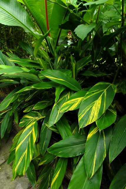 Alpinia zerumbet 'variegata' looking half decent