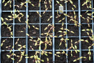 Amaranthus seedlings prior to thinning