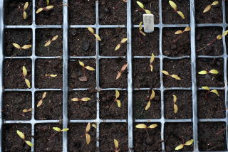 Thinned out amaranthus seedlings