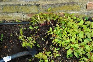 digging up seedlings