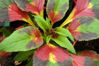 Amaranthus tricolour splendens