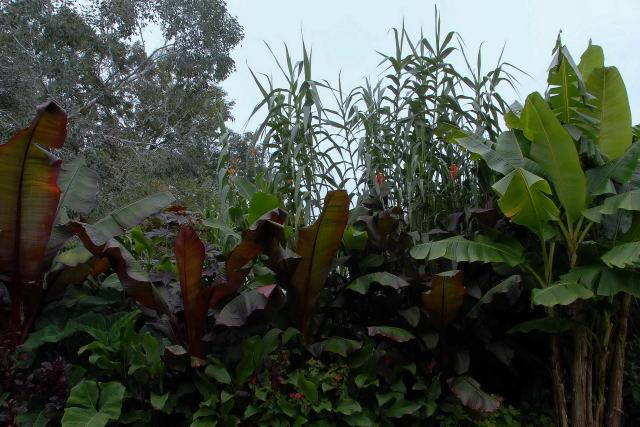Arundo donax growing in a tropical border.