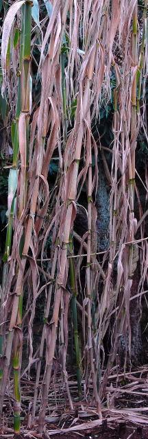 Brown winter stems of Arundo donax