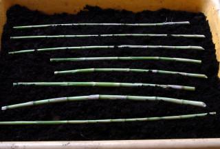 Arundo donax variegata canes laid horizontally in a seed tray