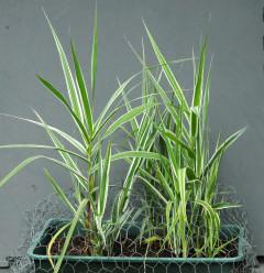 Arundo donax variegata growing through a protective chicken wire cover.