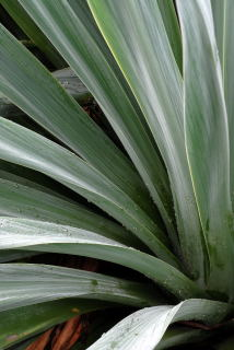 Beschornaria yuccoides leaf detail