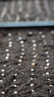 Newly planted Ophiopogon planiscapus 'Nigrescens' seeds.